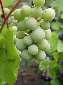 Orchard: vine grapes