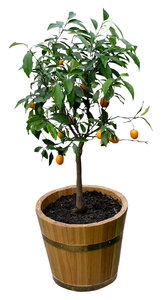 Orange tree: A small orange tree.Please comment this shot or mail me if you found it useful. Just to let me know!I would be extremely happy to see the final work even if you think it is nothing special! For me it is (and for my portfolio).
