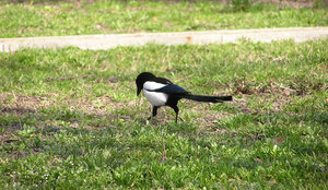 A magpie walk: A magpie on a walk.Please comment this shot or mail me if you found it useful. Just to let me know!I would be extremely happy to see the final work even if you think it is nothing special! For me it is (and for my portfolio)!