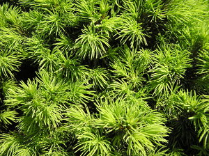 Cypress: A needle bush texture.Please comment this shot or mail me if you found it useful. Just to let me know!I would be extremely happy to see the final work even if you think it is nothing special! For me it is (and for my portfolio)!