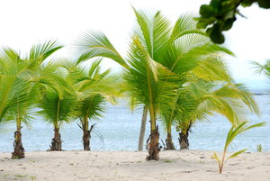 Palm trees  3: Palm trees on the beach