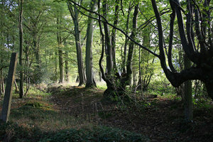 Forest path: An old path through beech (Fagus) woodland in West Sussex, England, in summer.