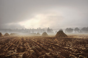 Harvested corn field: Shot of harvested corn field covered in mist, early morning