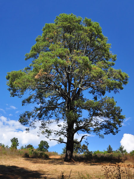 Large tree: Large tree against blue sky and white clouds in the country