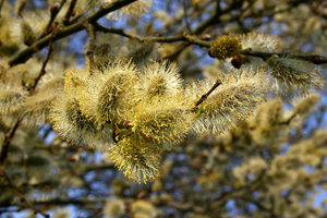 Catkins: Catkins on a sallow (Salix) tree in West Sussex, England, in spring.