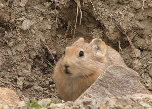 Pika: Pika in the Indian Himalayas, In its natural habitat, rocky mountain sides, small crude burrows, etc.