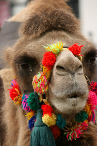 Pretty Camel: A Tunisian camel with a brightly coloured halter