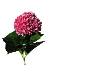 single hortensia  1