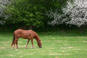 Horse munching on grass