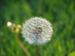 Dandelion  1: In my yard========================Please drop me a quick note if you find my pictures useful.Even if it's something small --I would be absolutely thrilled to know where & how they are being used!
