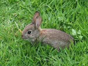 Baby rabbit: A baby wild rabbit on a nature reserve in West Sussex, England, in spring.