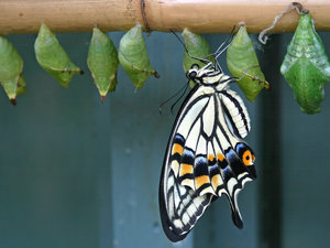 Swallowtail: A swallowtail (Papilio) butterfly newly emerged from its chrysalis.