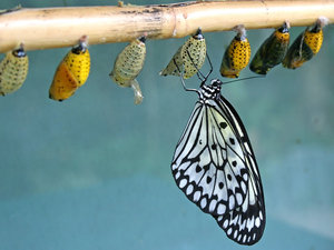 Paperlace butterfly: A paperlace (Idea) butterfly newly emerged from its chrysalis.