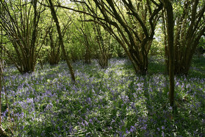 Bluebell woodland: Bluebell (Endymion non-scriptum) woodland in West Sussex, England, in spring.