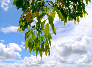 Summer Leaves: Eucalyptus gum tree leaves hanging down, lit by the summer sun, against a background of bright cloudy skies. Suitable for spring or summer, ecology, conservation or greenhouse issues, etc.