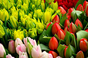 Bunches of Tulips 2