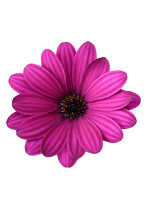 Osteospermum: Varieties and shades of osteospermum growing in my garden