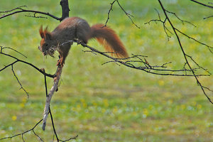 Red squirrel 2: Squirrel at spring