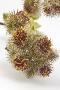 Thistle 2: Dried thistle