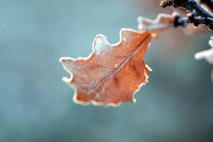 Frozen oaks leaf: Hoarfrost on the oaks leaf