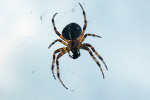Orb-weaver spider 3: Spider from Araneidae family