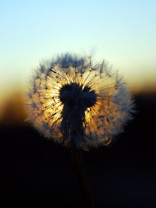 Sphere of Dandelion clock  4: Ball of parachutes - dandelion seeds