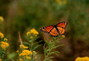 Monarch butterfly 2