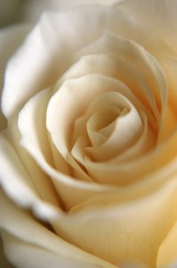 Rose softness: White detailed rose