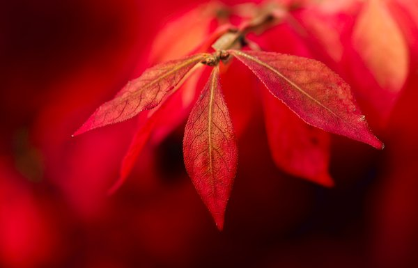 Fierce fall leaves: red fall leaves