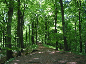 forest, late spring: Picture taken May 13, 2004, a few km east of Dalby, Skåne, Sweden. Canon Powershot G2.