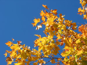 autumn leaves and blue sky 4