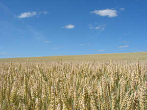 wheat field 1: Wheat field near Gårdstånga, Skåne, Sweden, 2006-07-15
