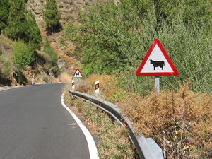 cow warning: Sign captured somewhere in the middle of the island Gran Canaria, Spain.
