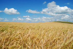 Barley field 1: Barley field