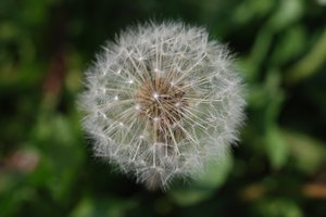 Maturing Dandelions 1: Dandelions, a very common weed in many parts of the world. The flower matures into a ball of filaments carrying away achenes with seeds.