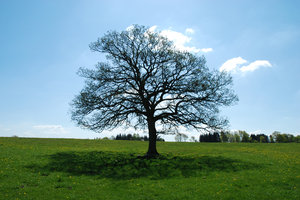 Solitary tree 2: A revisit to the solitary tree http://www.sxc.hu/photo/1 .. near the village Dalby, Skåne, Sweden.