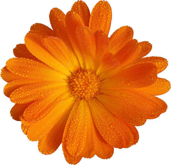 Orange Flower: Orange flower, white background (cutout).Like it? Have a look on this one:http://www.sxc.hu/photo/8 ..