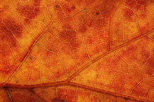 Dried Leaf Texture