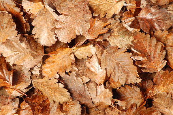 Withered Leaves: Withered Leaves texture.My Autumn Theme photos:http://www.sxc.hu/browse. ..