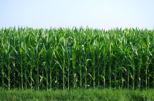 Corn: Young corn field.
