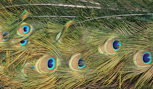 Peacock tail: Part of the tail of a peacock, with the feathers not spread wide in display.