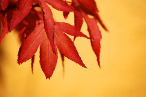acer: no description
