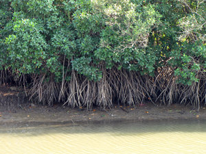 Mangrove forest: no description