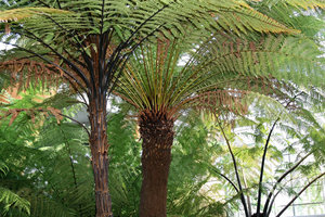 Tree ferns: Tree ferns growing in a glasshouse in England.
