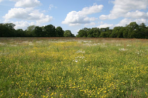 Buttercup meadow: Buttercups (Ranunculus) in a meadow in West Sussex, England, in early summer.