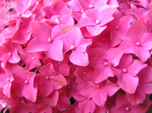 Pink flowers: Some pink flowers texture. Please let me know if you decide to use it!