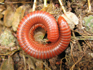 Rusty millipede: Millipedes are detritivores and slow moving. Most millipedes eat decaying leaves  and other dead plant matter, moisturising the food with secretions and then scraping it in with the jaws. They are sometimes greenhouse pests, damaging seedlings.