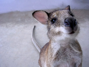 Hooley! 1: An orphaned wallaby now grown up and released but likes to visit now and then.