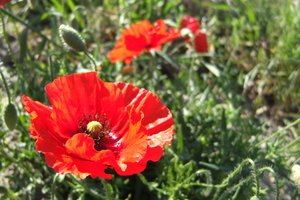 poppy flower - tuscany: shots made at a short trip to tuscany - italy this spring
