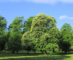 chestnut in a park